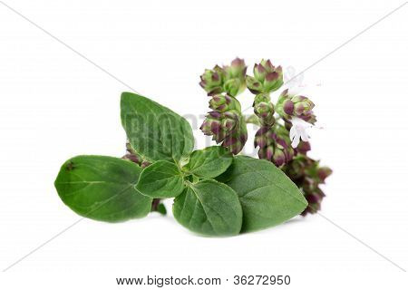 Blooming oregano