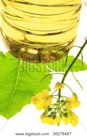 Canola Plant (Brassica napus)