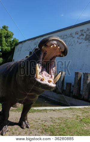 Hippopotamus Showing Huge Jaw, Teeth
