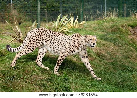 Cheetah Pacing Through Grass In Enclosure