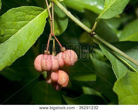 European Spindle Tree, Euonymus Europaeus