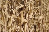 picture of zea  - row of dry the maize