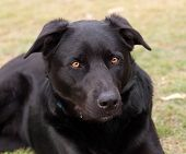stock photo of cattle dog  - Australian bred working dog black kelpie pure breed canine cattle and sheep dog - JPG