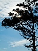 stock photo of windswept  - Windswept Trees Silhouette on a Clear Sunny Day - JPG