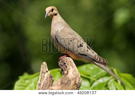 A Mourning Dove.