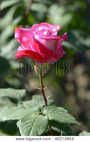 Varietal rose