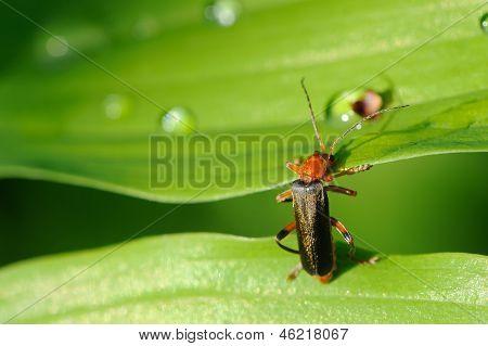 Soldado besouro (Cantharis Rustica) subindo uma folha