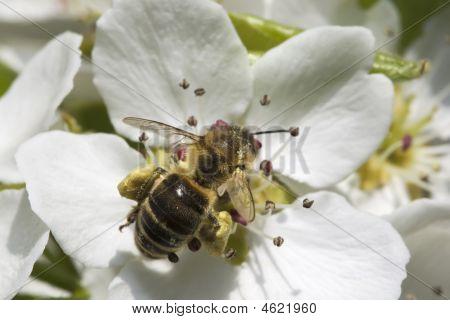 Bee On White And Yellow Flower