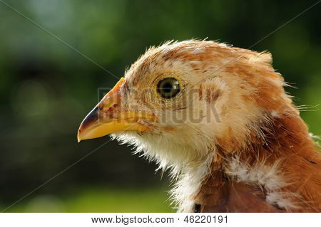 Primer plano de cabeza de pollo