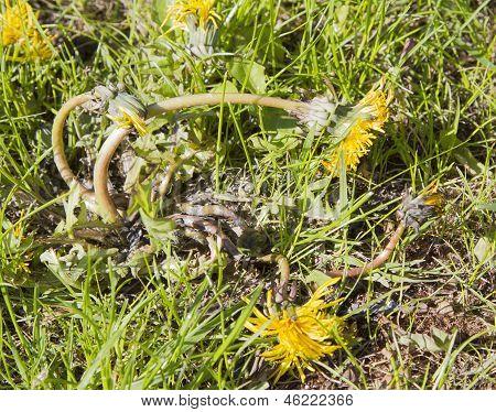 Dandelion dying in lawn