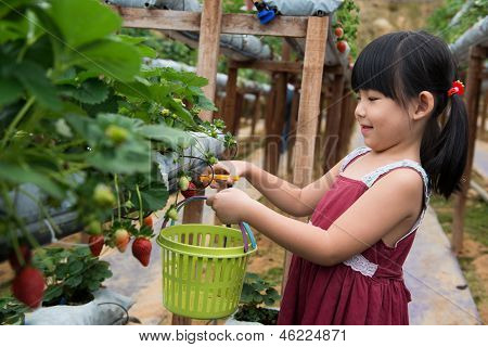 Child Pluck Strawberry