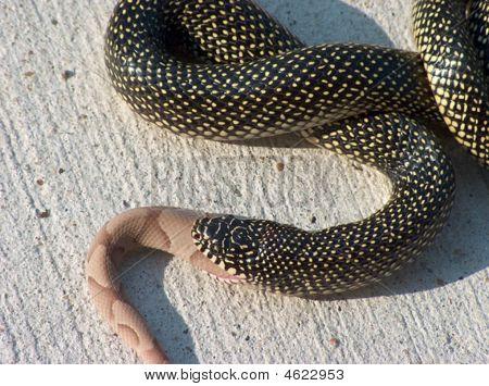 Canibilistic King Snake Hpim2507