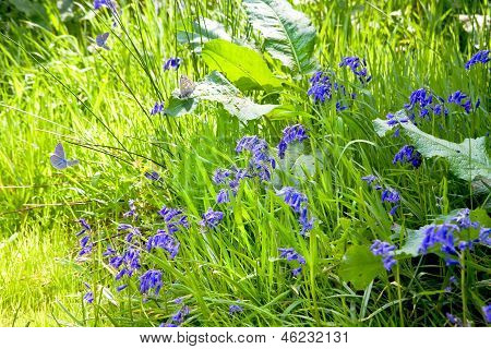 Bluebells And Butterflies In Spring Sunshine