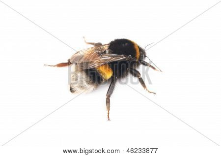 Bumblebee Isolated On The White Background