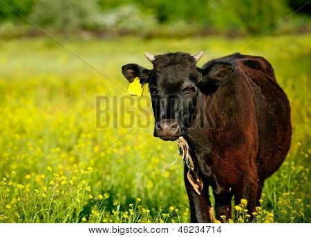 Cow In A Field