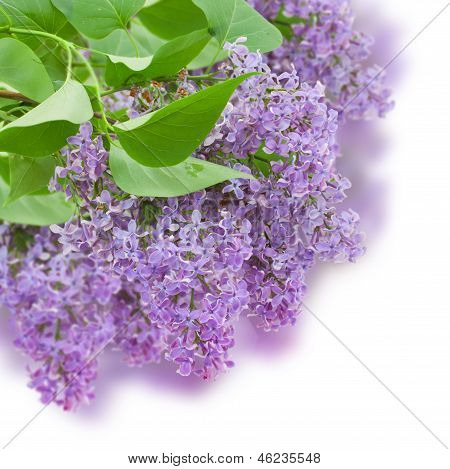Bush with with lilac flowers
