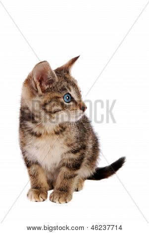 Cute Blue Eyed Tabby Kitten