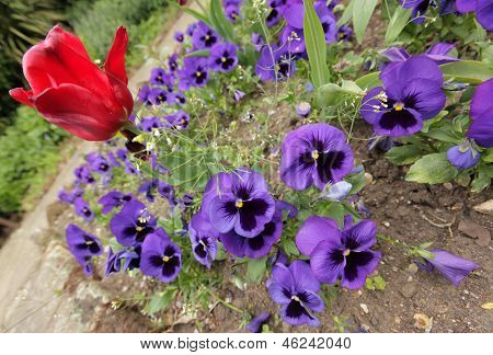 Red tulip and tricolor viola flowers