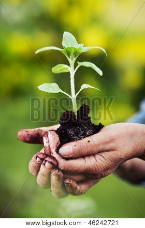 Senior woman holding small sunflower plant, shallow dof