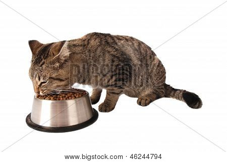 Kitten Eating From Dish