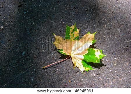 Autumn Maple Leaf On Pavement