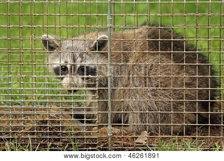 Raccoon In A Trap