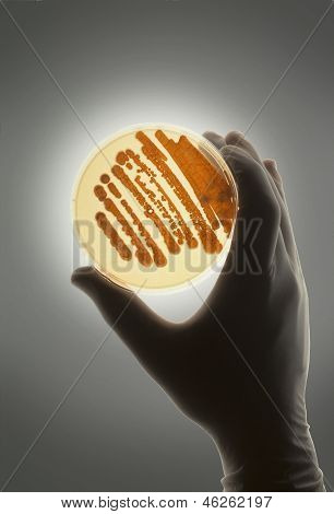 Petrie Dish With Bacteria Used For R&d