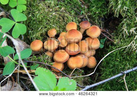 Kuehneromyces Mutabilis, mushrooms
