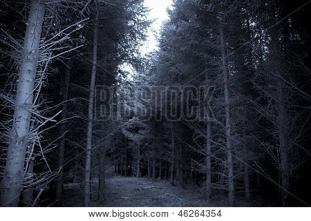 Pine Forest In County Kerry Ireland