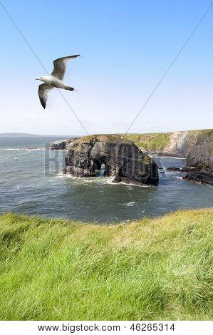 Virgin Rock Seagull In An Updraught