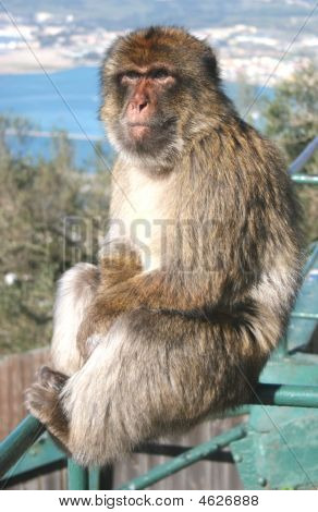 Mature Barbary Ape On The Rock Of Gibraltar