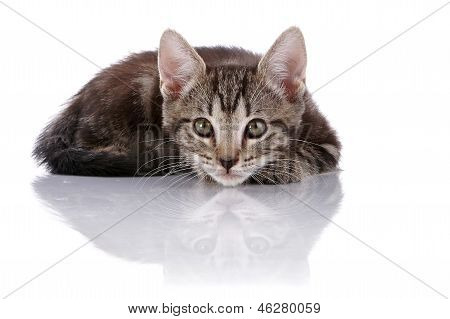 Striped Small Kitten Hid