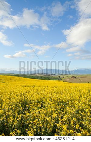 Yellow Fields Of Canola Flowers With Mountain Range In Background
