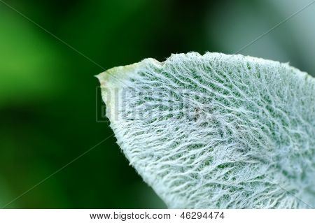 Lanate Lamb's Ear Leaf Closeup