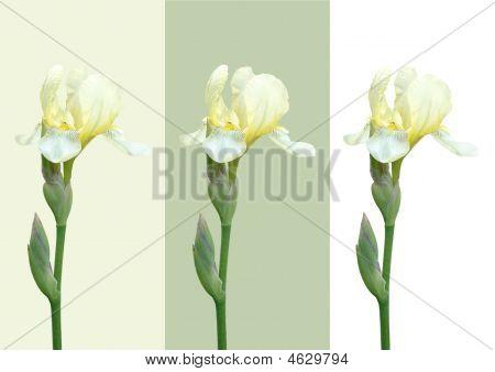 Three White Flowers