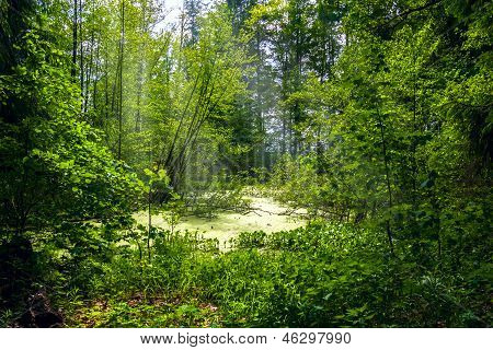 Forest Landscape Panorama View Swamp Trees Forest