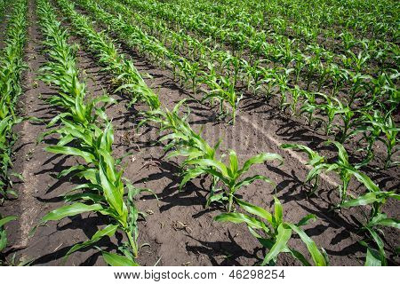 field with green corn