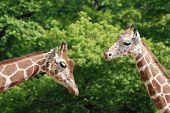 stock photo of terrestrial animal  - The giraffe  - JPG