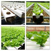 stock photo of cameron highland  - Collage of hydroponic vegetables in greenhouse at Cameron Highlands - JPG