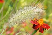 picture of fountain grass  - Spikelet of ornamental plants fountain grass  - JPG