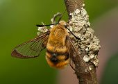 Hemaris Tityus - Bee