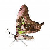 Постер, плакат: Хвостатая Джей бабочка