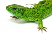 pic of lizard skin  - green lizard isolated on white background - JPG