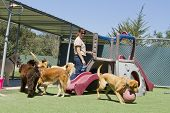 stock photo of supervision  - A female staff member at a kennel supervises several large dogs playing together - JPG