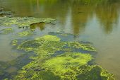 picture of green algae  - high angle view of green algae in a pond - JPG