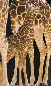 foto of baby animal  - New born baby giraffe standing between the long legs of his family - JPG