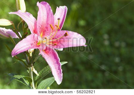 Pink Lilium With Copyspace