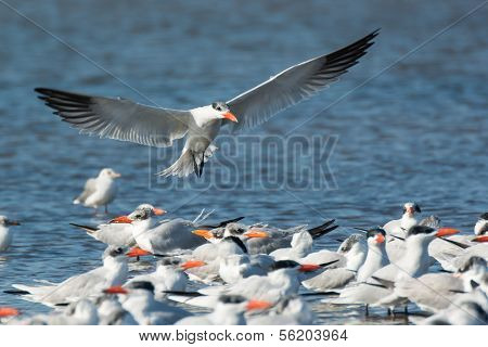 Caspian Tern (sterna Caspia) Landing By The Flock