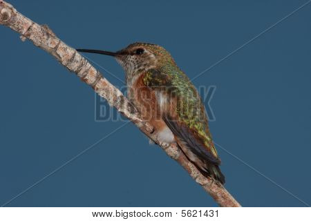 Hummingbird sitting on branch