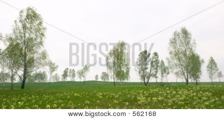 Spring Panorama With Birch And Snowdrop